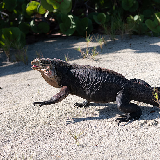 lizard strolls along the beach
